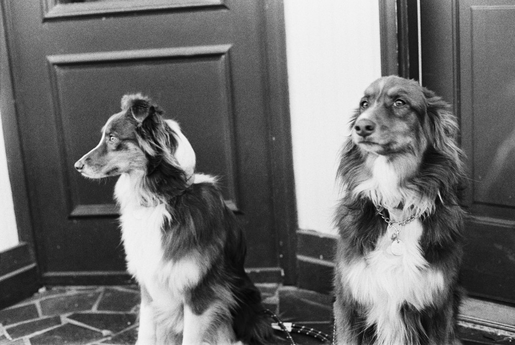 Our crowd came across this pair of gorgeous dogs on Main Street.